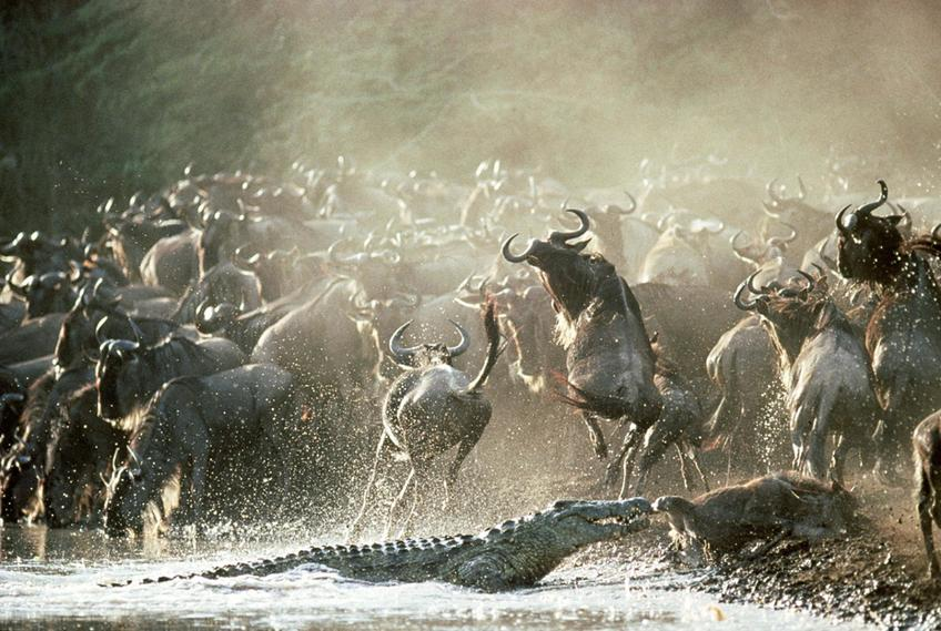 Los comportamientos colectivos y el cruce del río Mara en el Serengeti