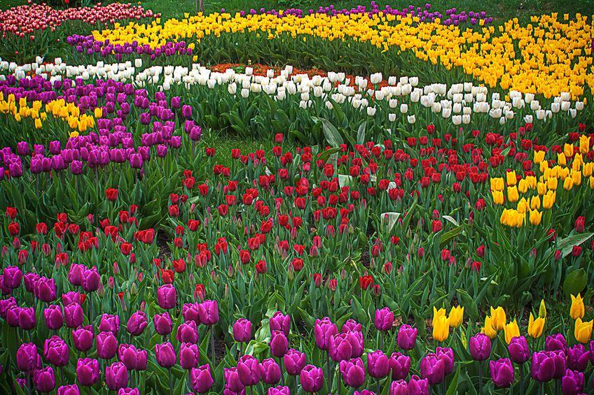 La burbuja de los tulipanes