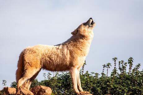 A la tercera voz de alarma vendrá el lobo